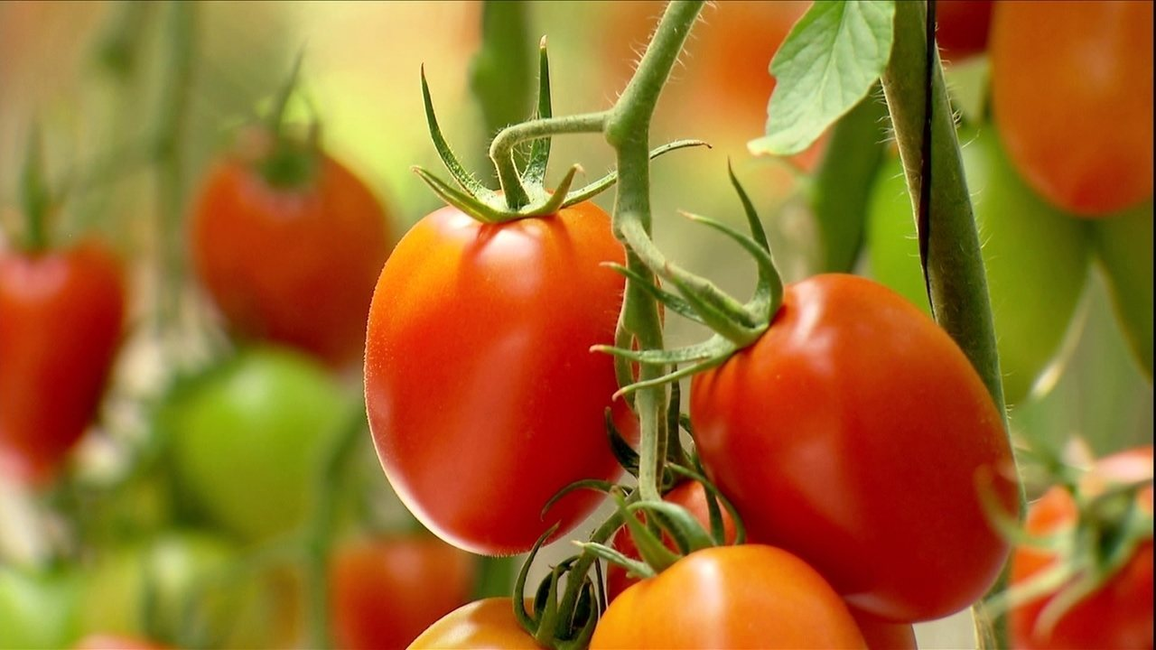 Produtor de Manhuaçu é referência na produção de tomates semi-orgânicos; VEJA VÍDEO